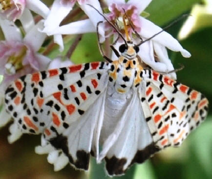 Indian Maiden Moth