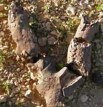 Coral Tree Fossil