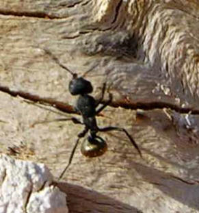 Silver Bottom Ant